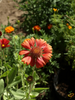 Wildflowers - All Perennial Scatter Garden Seed Mix