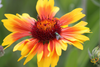 Wildflowers - Exotic Mountain Scatter Garden Seed Mix