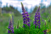 Wildflowers - Lupine Scatter Garden Seed Mix