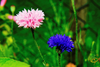 Wildflowers - Forever Pink Scatter Garden Seed Mix