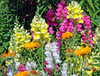 Wildflowers - Dryland Scatter Garden Seed Mix