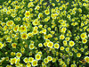 Wildflowers - Beneficial Insect Garden Seed Mix