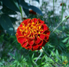 Wildflowers - Righteous Red Scatter Garden Seed Mix
