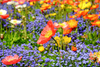 Wildflowers - Poppy Scatter Garden Seed Mix