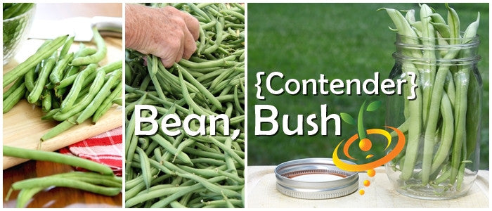 Non-GMO Contender Bush Bean Seeds (100% Heirloom/Non-Hybrid/Non-GMO)