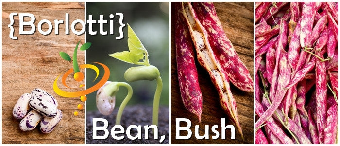 Non-GMO Bush Bean, Borlotti Seeds (100% Heirloom/Non-Hybrid/Non-GMO)