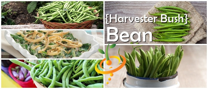 Non-GMO Harvester Bush Bean Seeds (100% Heirloom/Non-Hybrid/Non-GMO)