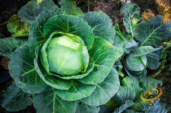 All Season Cabbage Seed Heirloom Leafy Early Garden Greens Seeds ¼oz to 1oz
