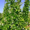 Bean (Bush) - Kentucky Wonder, White