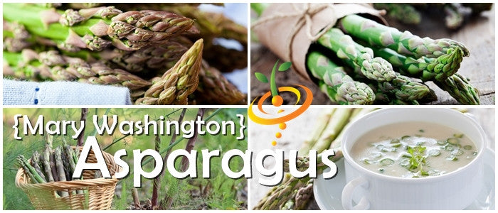 Grow Asparagus Mary Washington seeds  100% Heirloom/Non-Hybrid/Non-GMO