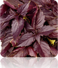 Basil - Red 'Velvet' Leaf