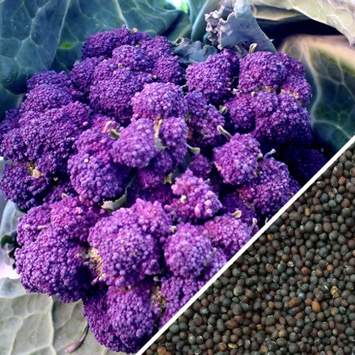 2 PACKS of BROCCOLI Early Purple Sprouting VEGETABLE Garden SEEDS