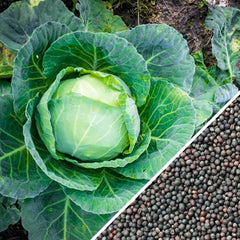 Cabbage - All Season