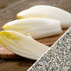 Chicory - Witloof, White