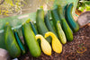 Squash (Summer) - Black Beauty Zucchini
