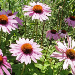 Echinacea (Purple Coneflower)