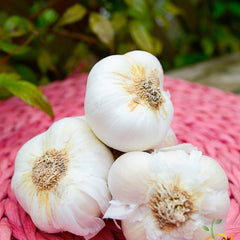 Garlic - Nootka Rose