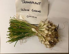 Onion (Transplants) - Grano, White (Short Day)