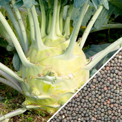 Kohlrabi - Delicatesse, Blue