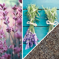 Lavender Vera, English Herb