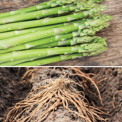Asparagus (Crowns/Roots) - Millenium