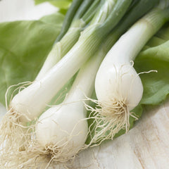 Onion - Lisbo, White (Bunching)