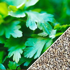 Parsley - Dark Green Italian Giant