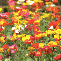 Wildflowers - Partial Shade Scatter Garden Seed Mix