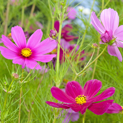 Wildflowers cosmos flower scatter garden seed mix mightylinksfo Image collections