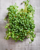 Sprouts/Microgreens - Upland Cress