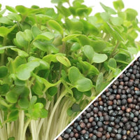 Sprouts/Microgreens - Broccoli