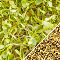 Sprouts/Microgreens - Clover