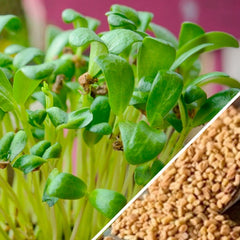 Sprouts - Fenugreek