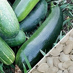 Squash (Summer) - Dark Green