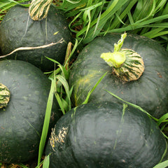 Squash (Winter) - Burgess Buttercup