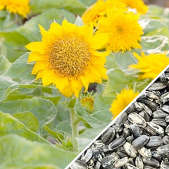 Sunflower - Sungold, Dwarf