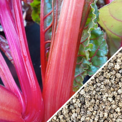 Swiss Chard - Hot Pink
