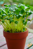 Microgreens - Fenugreek