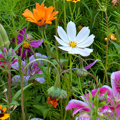 Wildflowers - Annual Cut Flower Scatter Garden Seed Mix