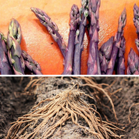 Asparagus (Crowns/Roots) - Purple Passion
