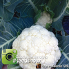 Cauliflower - Igloo