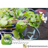 Sprouts/Microgreens - Cress