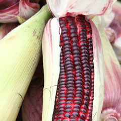 Corn - Bloody Butcher (Organic)