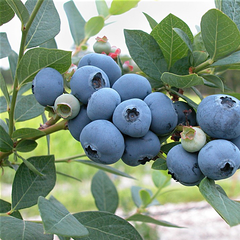 Blueberry, Highbush
