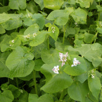 Cover Crop - Buckwheat