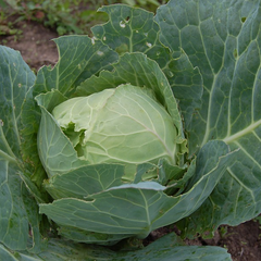 Cabbage - Glory Of Enkhuizen
