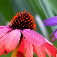 Wildflowers - Coneflower Scatter Garden Seed Mix