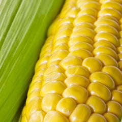 Corn - Golden Bantam, Sweet  (Organic)