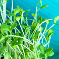 Sprouts/Microgreens - Flax (brown)