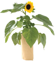 Sunflower Garden-in-a-Bag